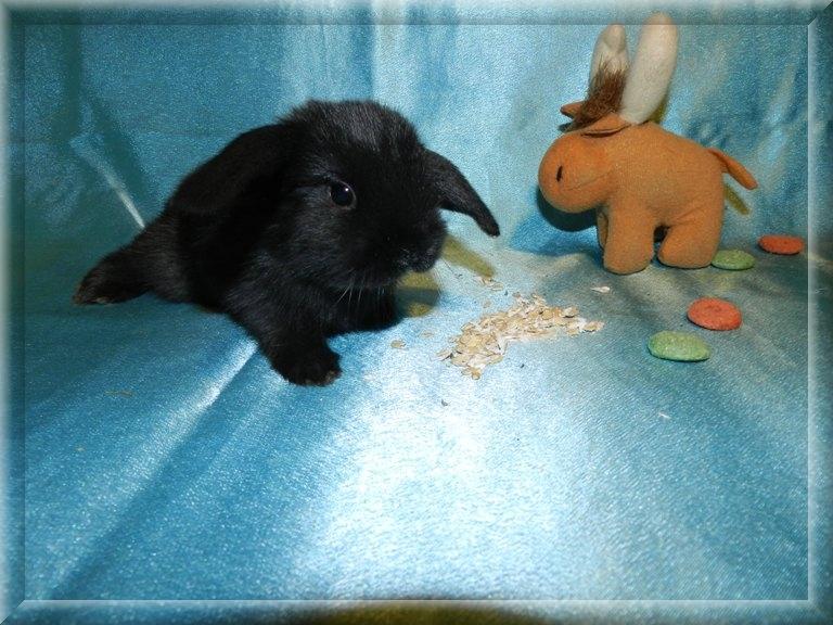 Карликовый кролик в домашних условиях клетки